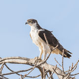 Osprey (8)