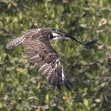 Osprey (10)