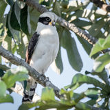 Laughing Falcon (1)
