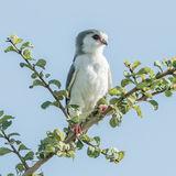 Pygmy Falcon (1)