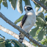 Laughing Falcon (2)