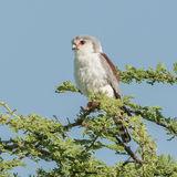 Pygmy Falcon (2)