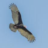 Turkey Vulture (2)