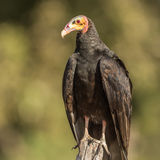 Lesser Yellow-headed Vulture (1)