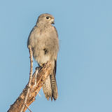 Grey Kestrel (1)