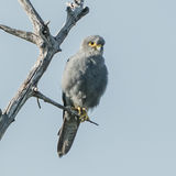 Grey Kestrel (2)
