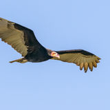 Lesser Yellow-headed Vulture (4)