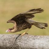 Southern Crested Caracara (3)