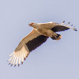 Palm-nut Vulture (2)