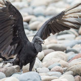 Black Vulture (2)