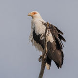 Palm-nut Vulture (4)