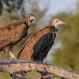 Hooded Vulture (1)