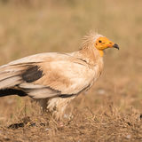 Egyptian Vulture (2)