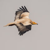 Egyptian Vulture (3)
