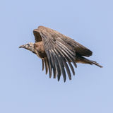 Hooded Vulture (4)