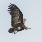 Hooded Vulture (6)