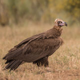 Cinereous Vulture (2)