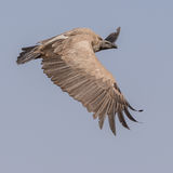White-backed Vulture (2)