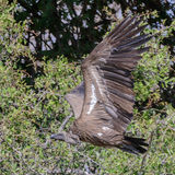 White-backed Vulture (4)