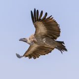 White-backed Vulture (5)