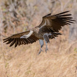 White-backed Vulture (6)