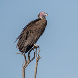 Lappet-faced Vulture (5)