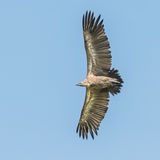 Ruppell's Vulture (2)