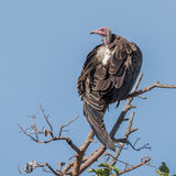 Hooded Vulture (9)
