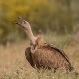 Griffon Vulture (3)