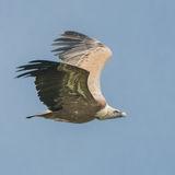 Griffon Vulture (10)