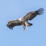 Griffon Vulture (11)