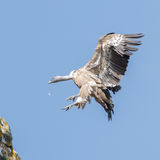 Griffon Vulture (12)