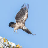 Griffon Vulture (13)