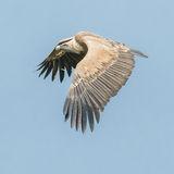 Griffon Vulture (14)