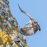 Griffon Vulture (15)