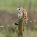 Barn Owl (5)