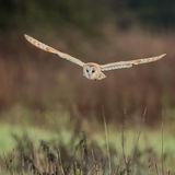 Barn Owl (8)
