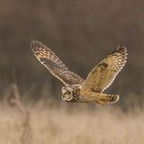 Short-eared Owl (3)