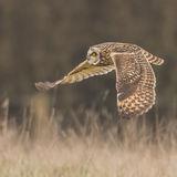 Short-eared Owl (6)