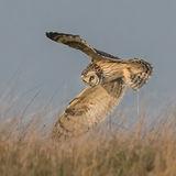 Short-eared Owl (7)