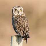 Short-eared Owl (8)