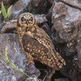 Short-eared Owl (9)