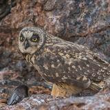 Short-eared Owl (10)