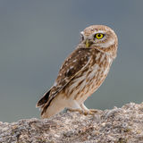 Little Owl (2)