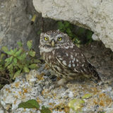 Little Owl (3)