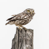 Little Owl (4)