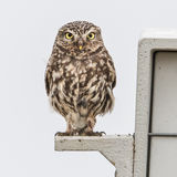 Little Owl (5)