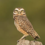 Burrowing Owl (1)