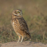 Burrowing Owl (3)