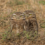 Burrowing Owl (2)